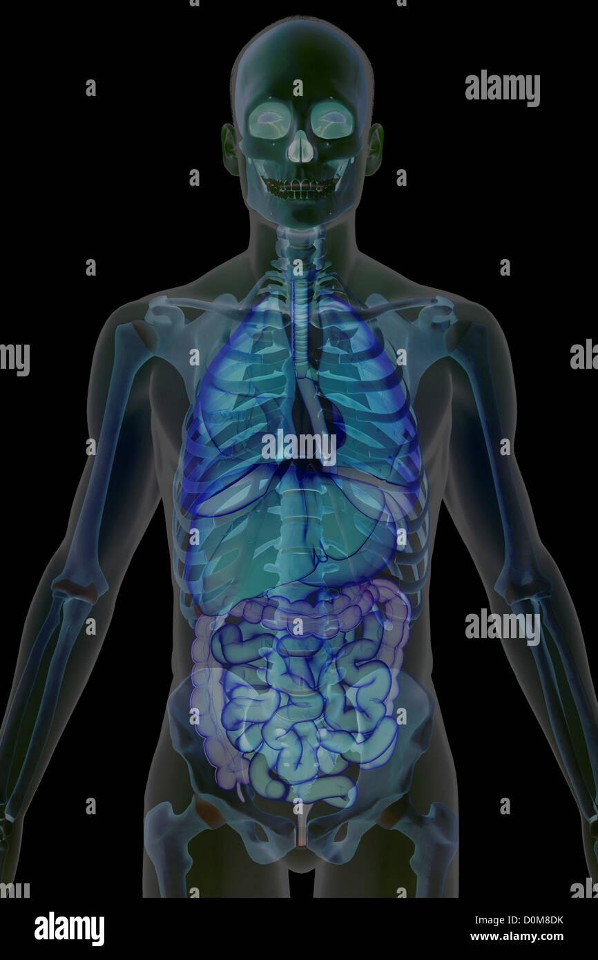 Vista frontal estilizada de los huesos y de los órganos internos de ...
