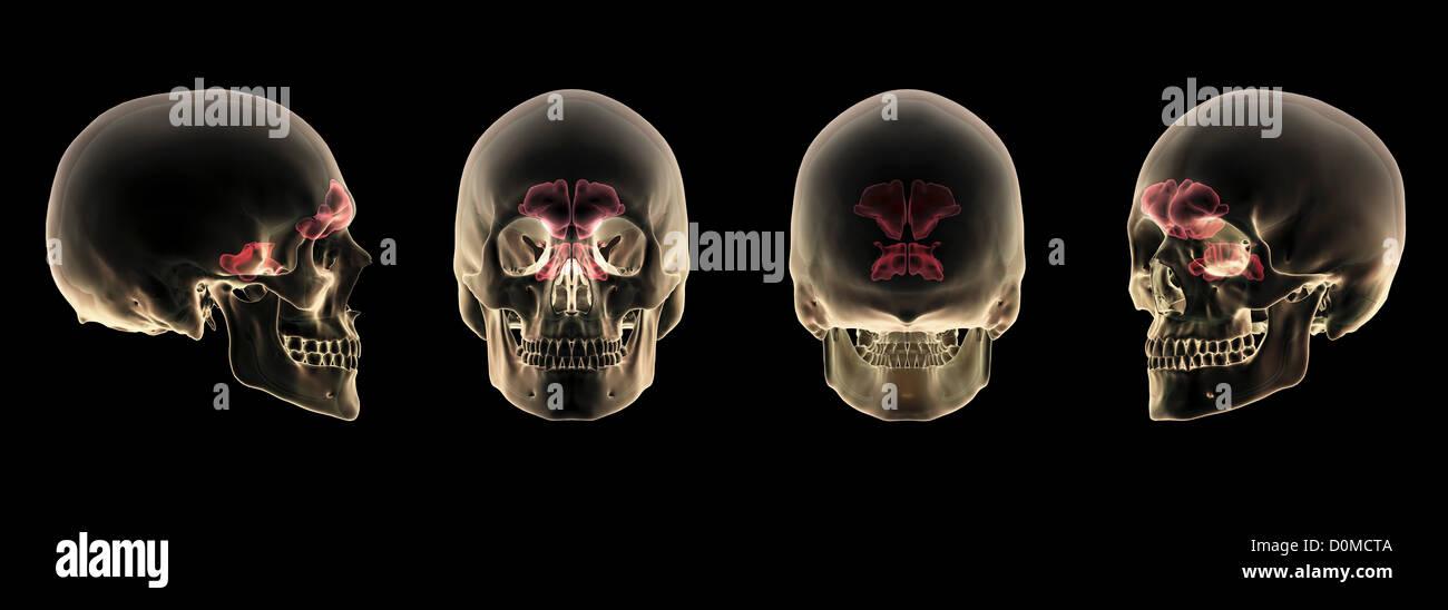Cuatro esquemas transparentes de un cráneo humano, mostrando las ...