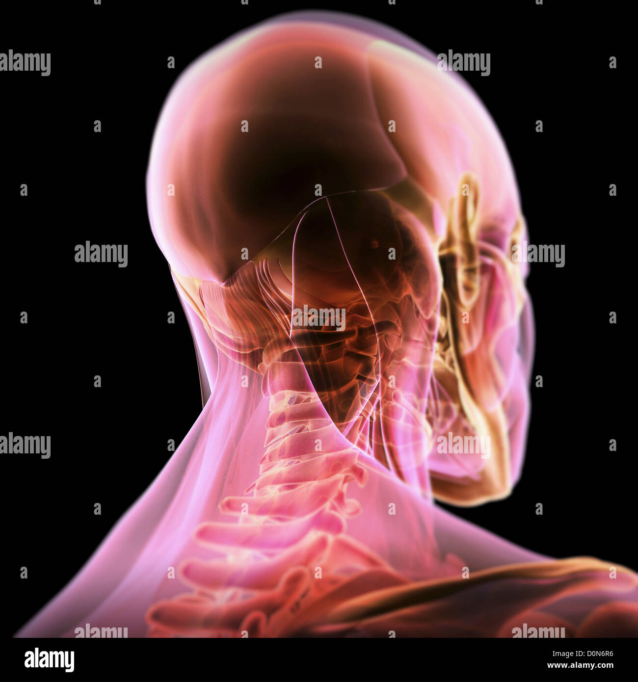 Tres cuartos vista trasera de la anatomía de la cabeza y el cuello ...