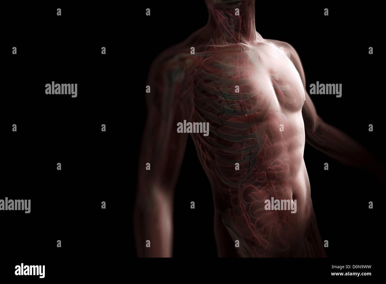 Figura masculina piel transparente visto tres-cuarto ángulo ...