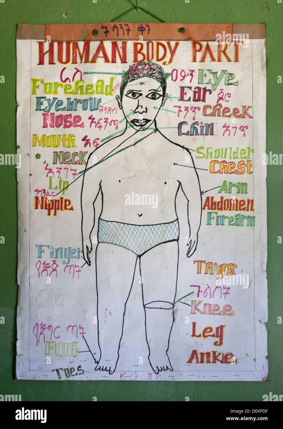 Las partes del cuerpo humano gráfico en Shashemene Escuela de ...