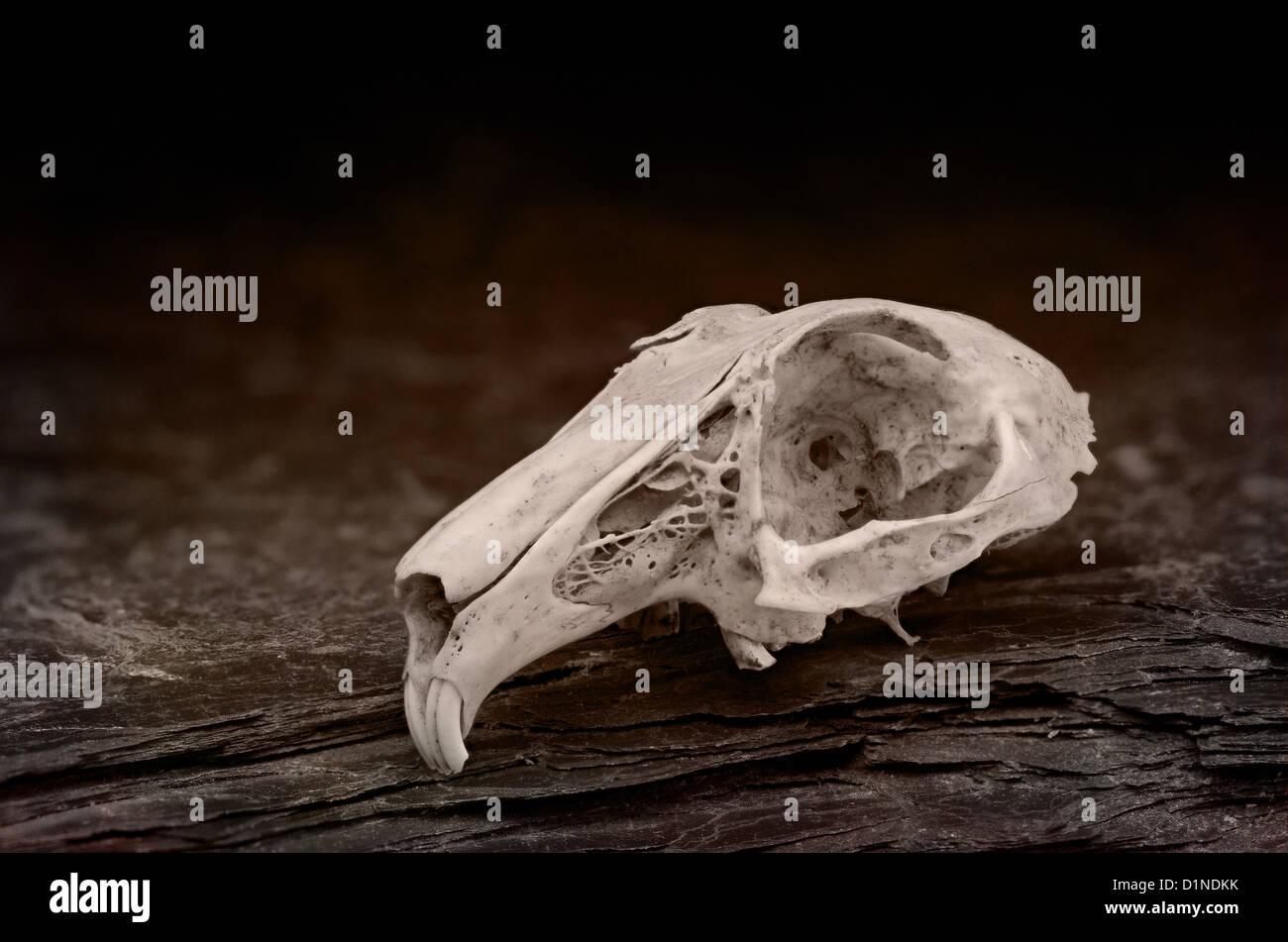 Capeado cráneo de conejo mostrando línea de sutura y hueso craneal ...