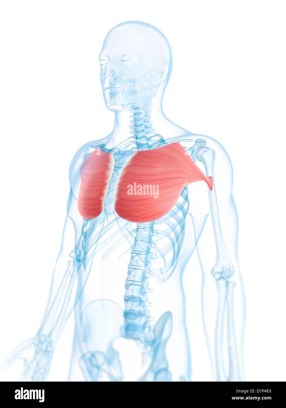 Los músculos pectorales, ilustraciones Foto & Imagen De Stock ...