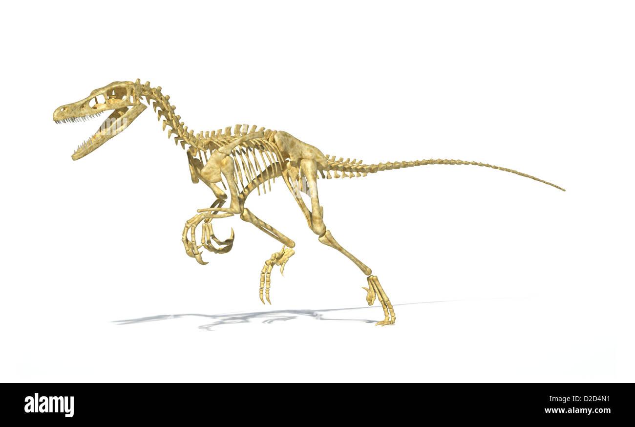Velociraptor esqueleto de dinosaurio carnívoro con plumas de pájaro ...
