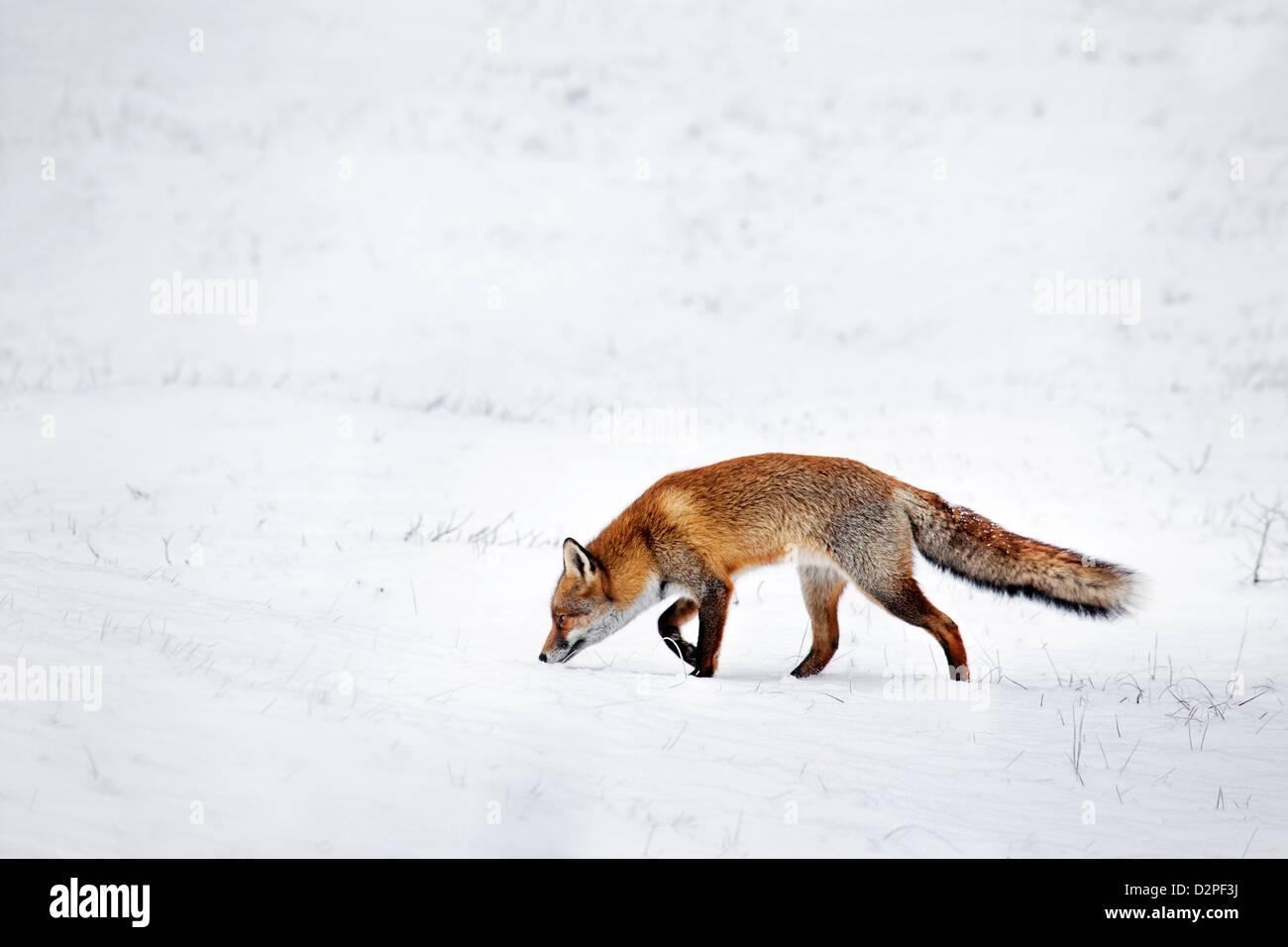 La Caza El Zorro Rojo (Vulpes vulpes) siguientes scent trail por presas en prados cubiertos de nieve en invierno Imagen De Stock