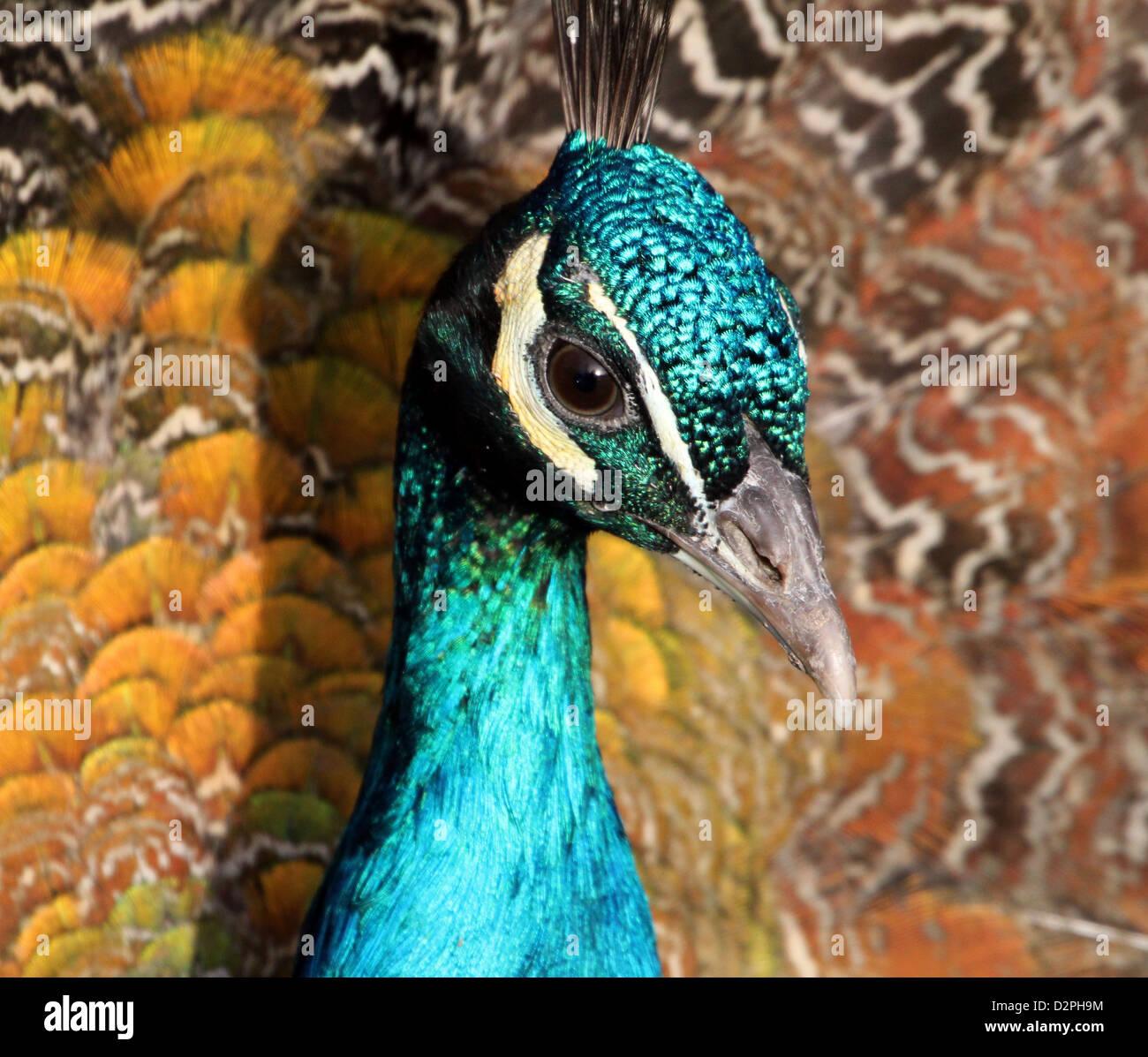 Cerca de la cabeza y la parte superior del cuerpo de Indian Peafowl ...