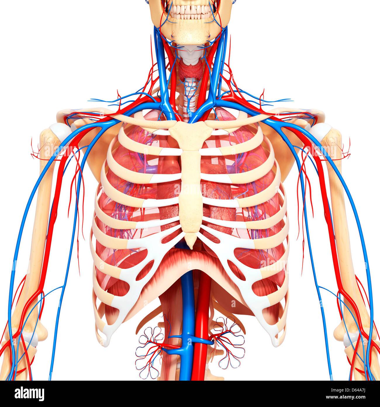 Anatomía del pecho, ilustraciones Foto & Imagen De Stock: 55414902 ...