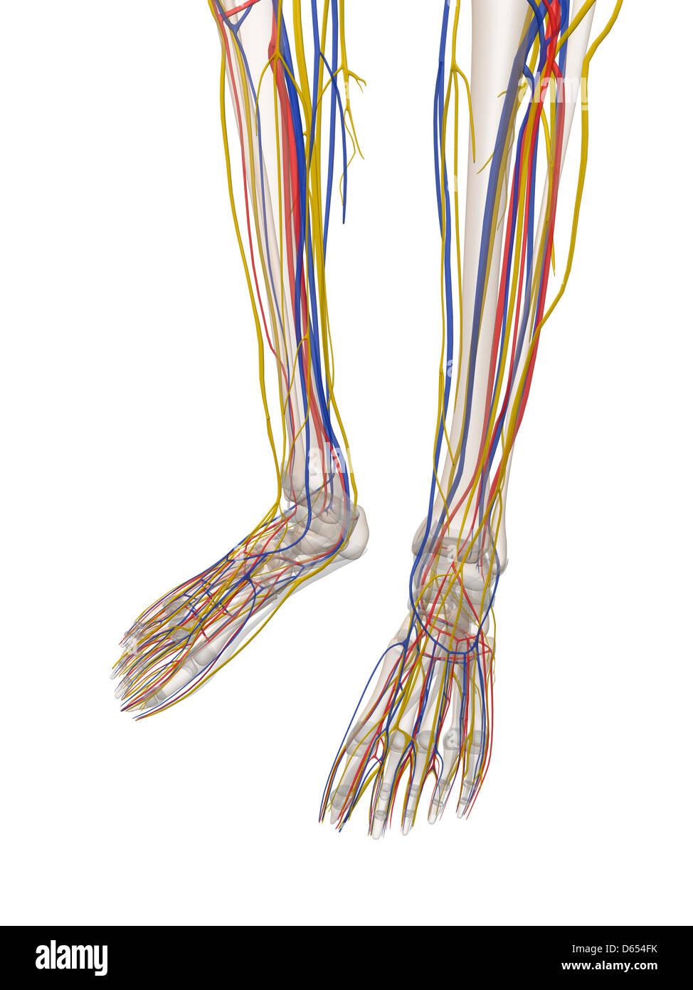 Parte inferior de la pierna Anatomía Humana, obras de arte Foto ...