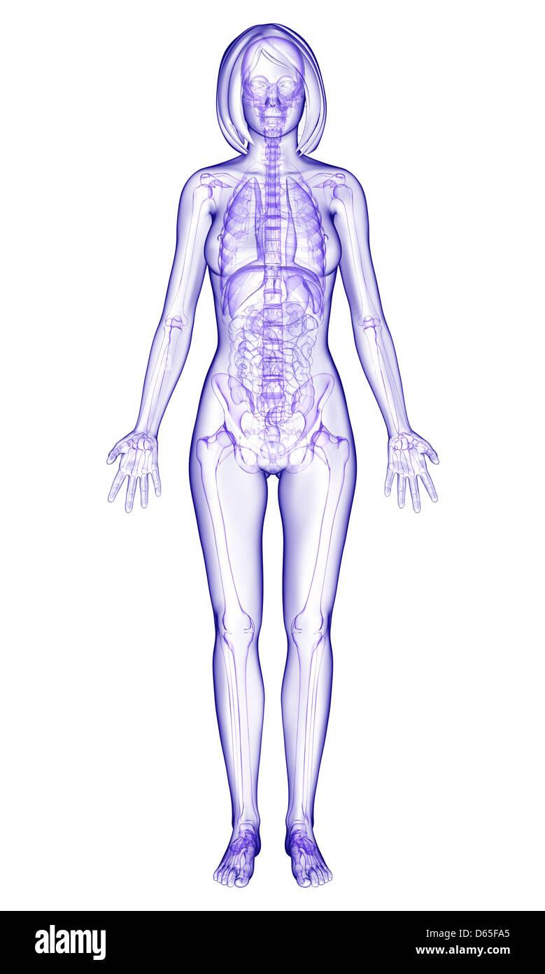 Vistoso La Ilustración De La Anatomía Femenina Adorno - Anatomía de ...