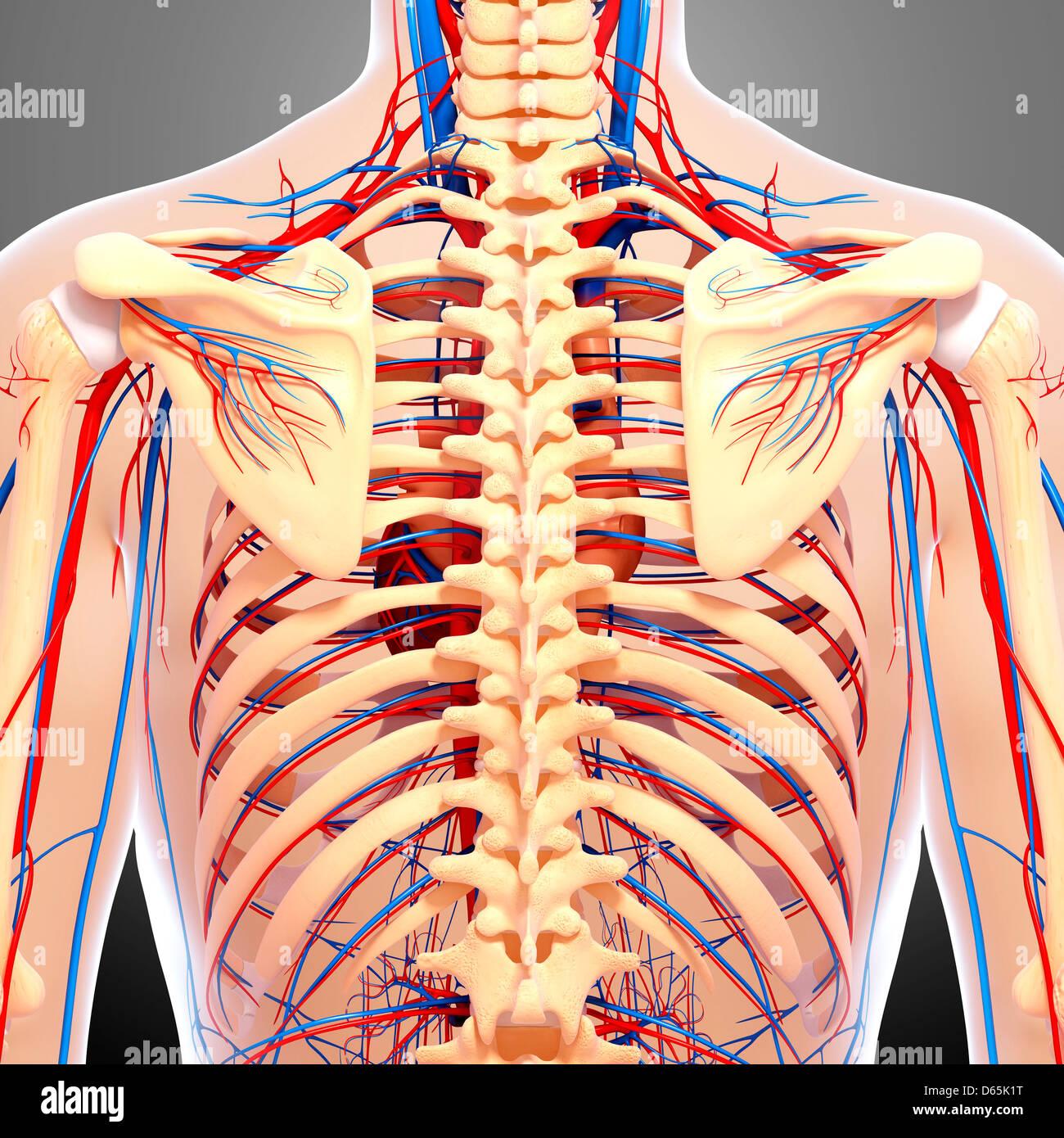Anatomía de la espalda, las ilustraciones Foto & Imagen De Stock ...