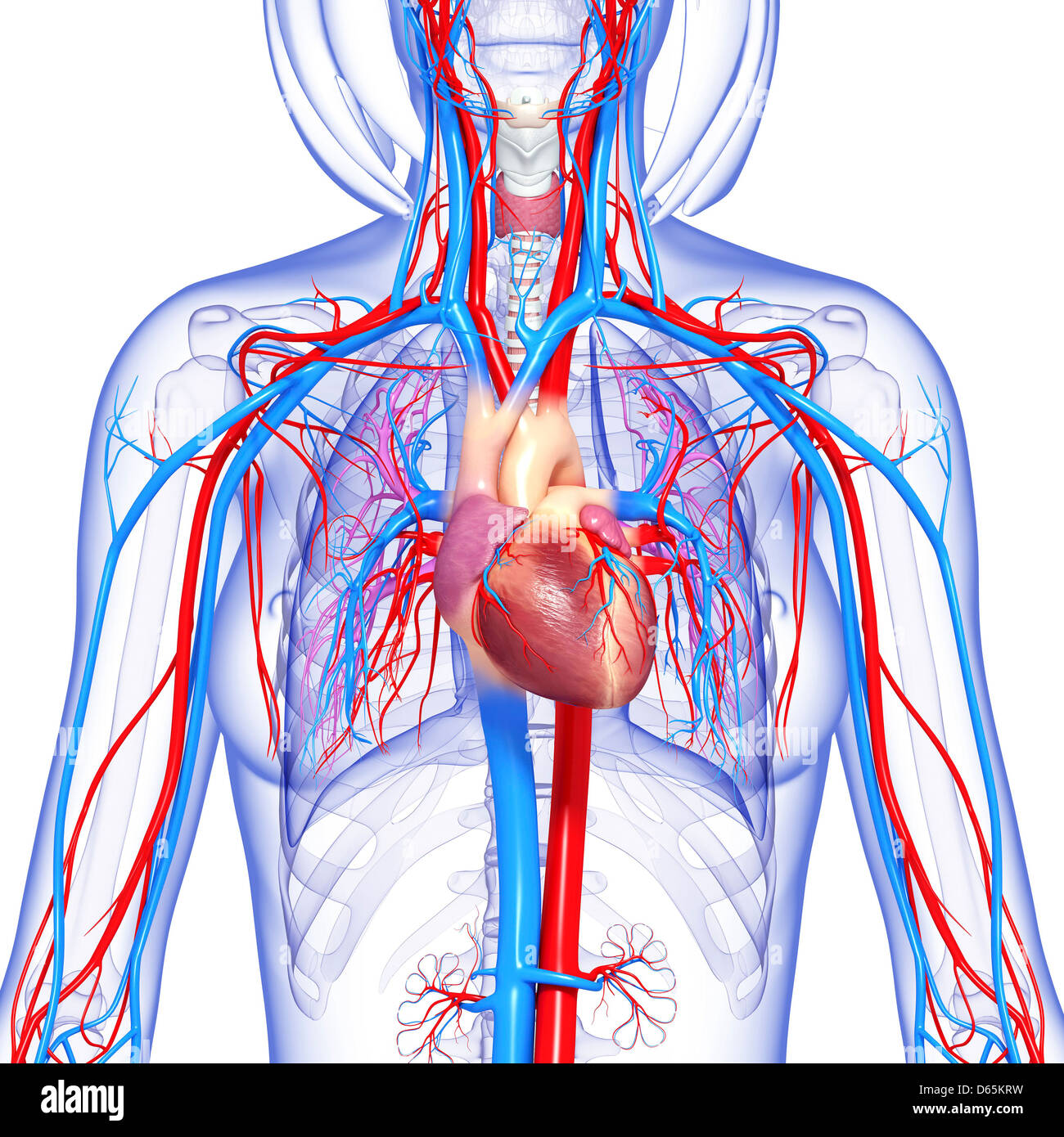 Sistema cardiovascular femenina, ilustraciones Foto & Imagen De ...