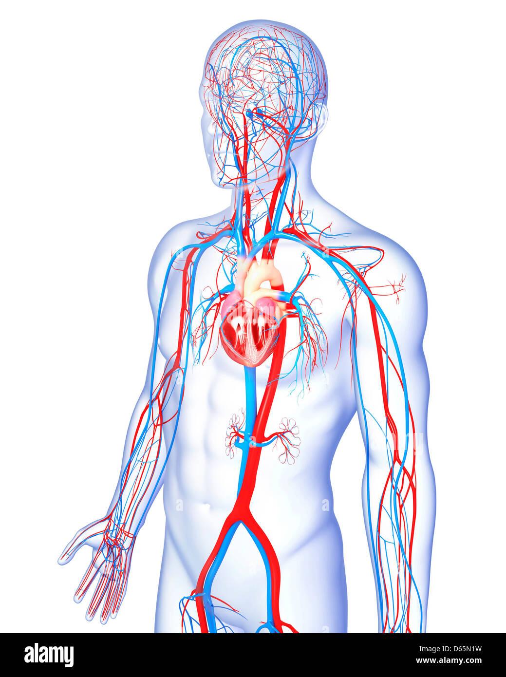 Sistema cardiovascular masculinos, ilustraciones Foto & Imagen De ...