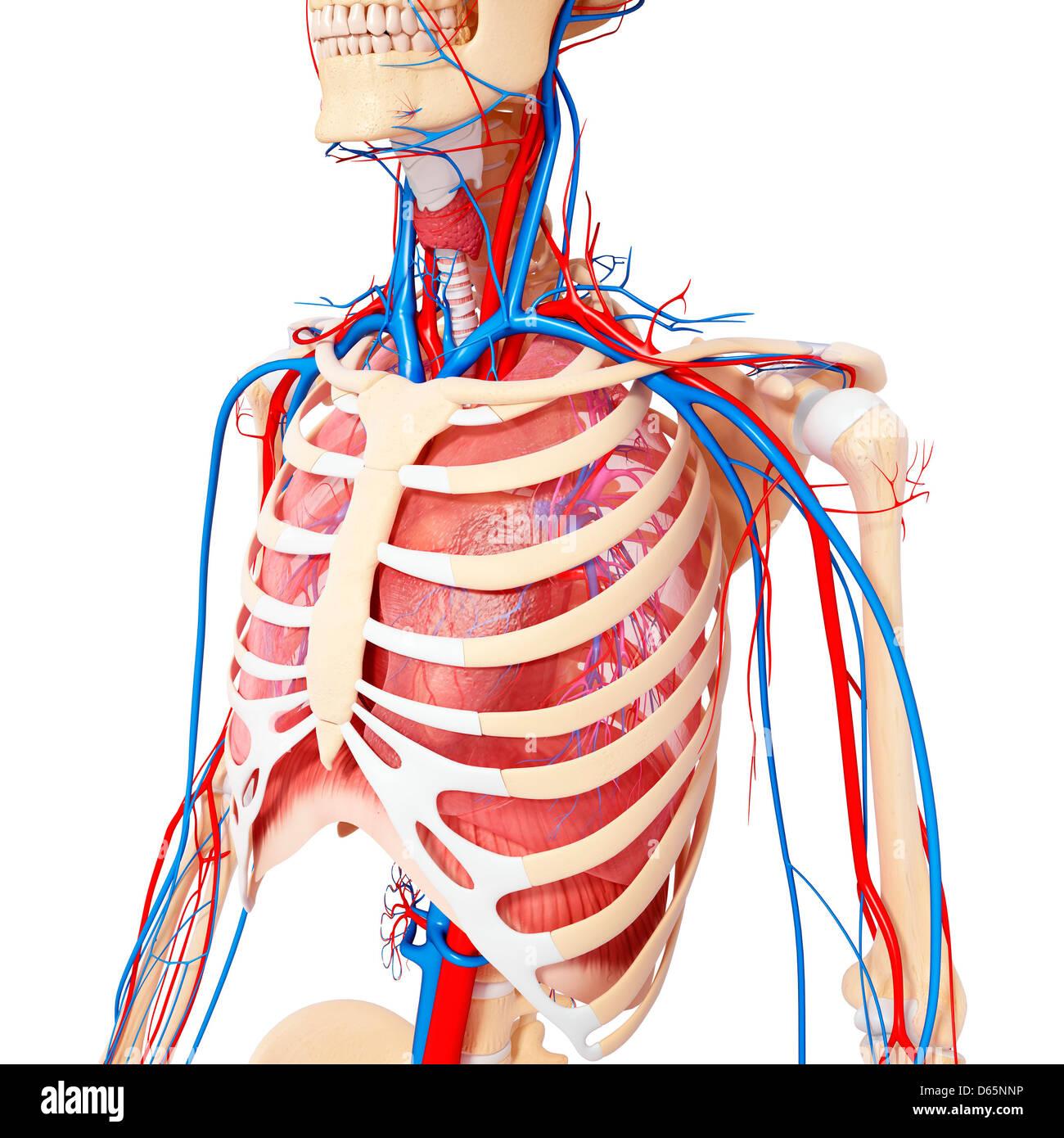 Anatomía del pecho, ilustraciones Foto & Imagen De Stock: 55445874 ...
