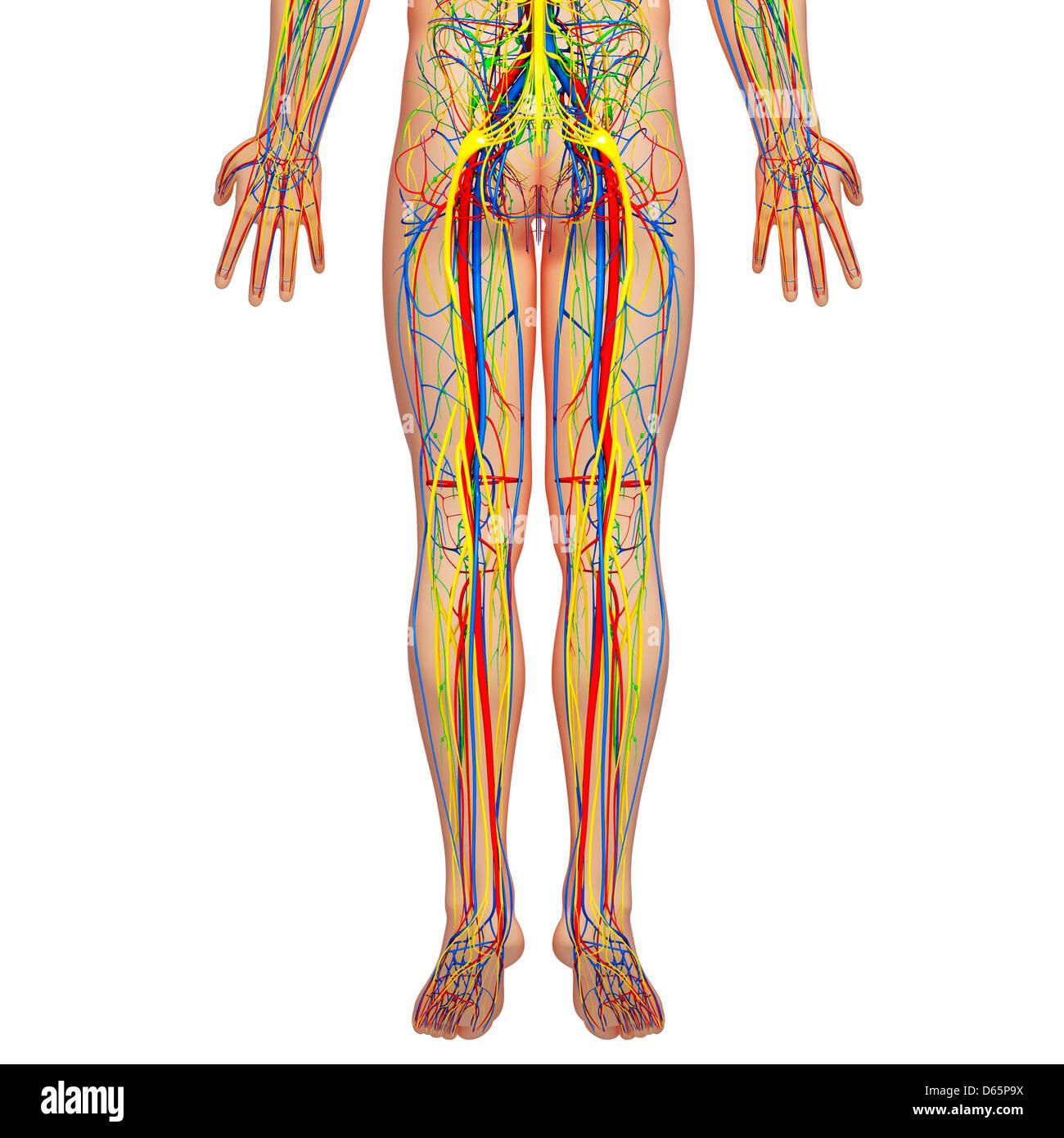 Anatomía de la parte inferior del cuerpo, arte Foto & Imagen De ...