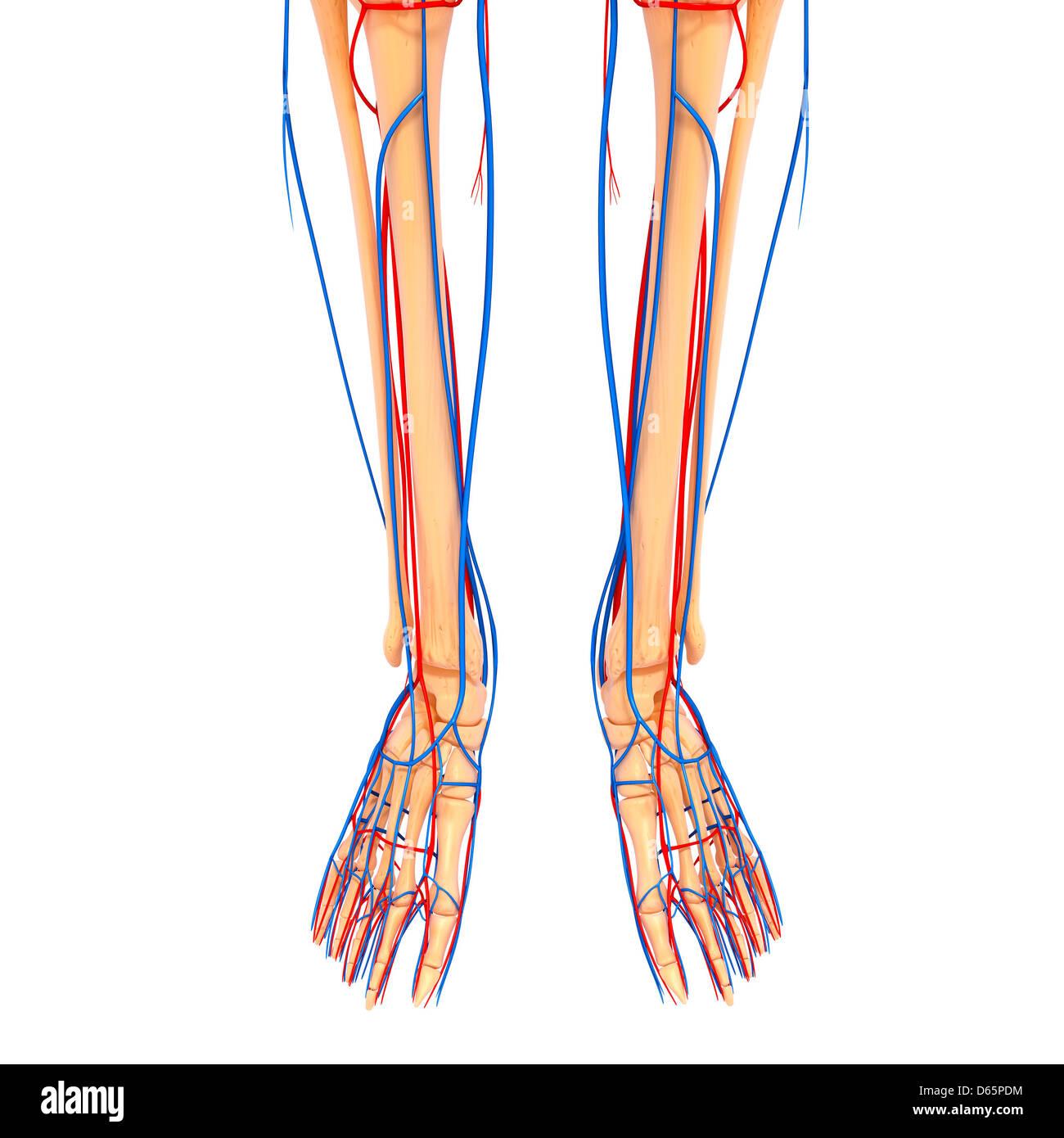 Anatomía de la parte inferior de la pierna, ilustraciones Foto ...