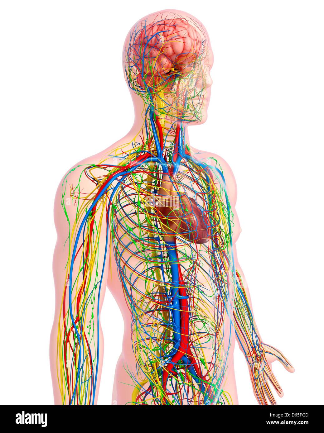 Anatomía masculina, ilustraciones Foto & Imagen De Stock: 55446509 ...