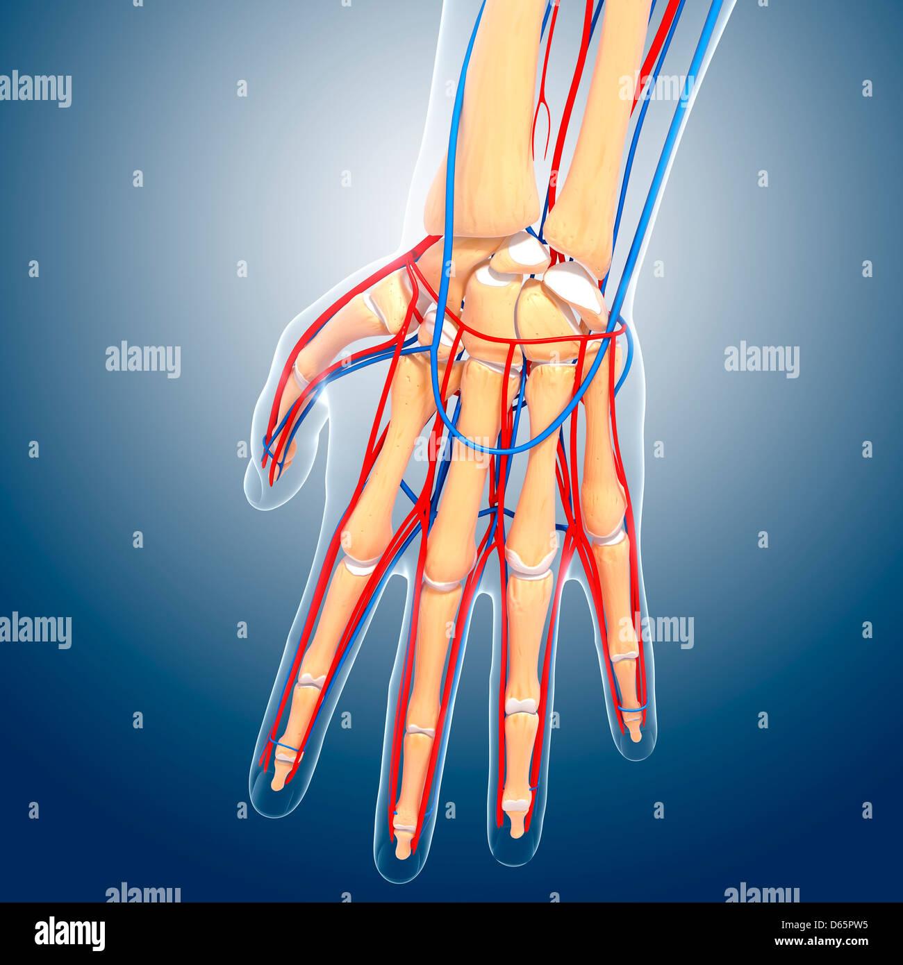 Anatomía de la mano, obras de arte Foto & Imagen De Stock: 55446753 ...