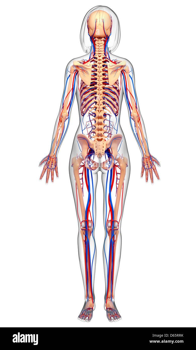 La anatomía femenina, ilustraciones Foto & Imagen De Stock: 55447495 ...