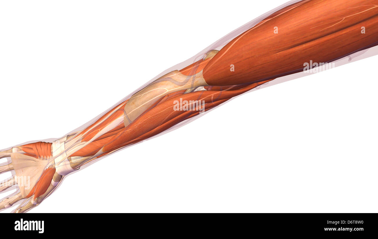 Mujeres codo y antebrazo anatomía muscular, espalda, vista posterior ...