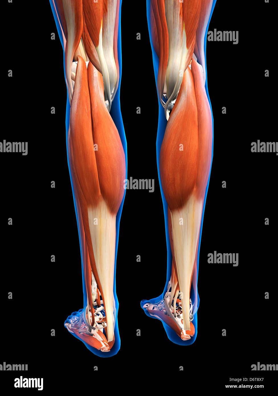 Anatomía de los músculos de los pies piernas femeninas en azul de ...