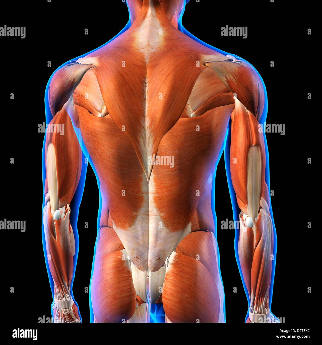 Vista trasera de músculos de la espalda masculina Anatomía en azul ...