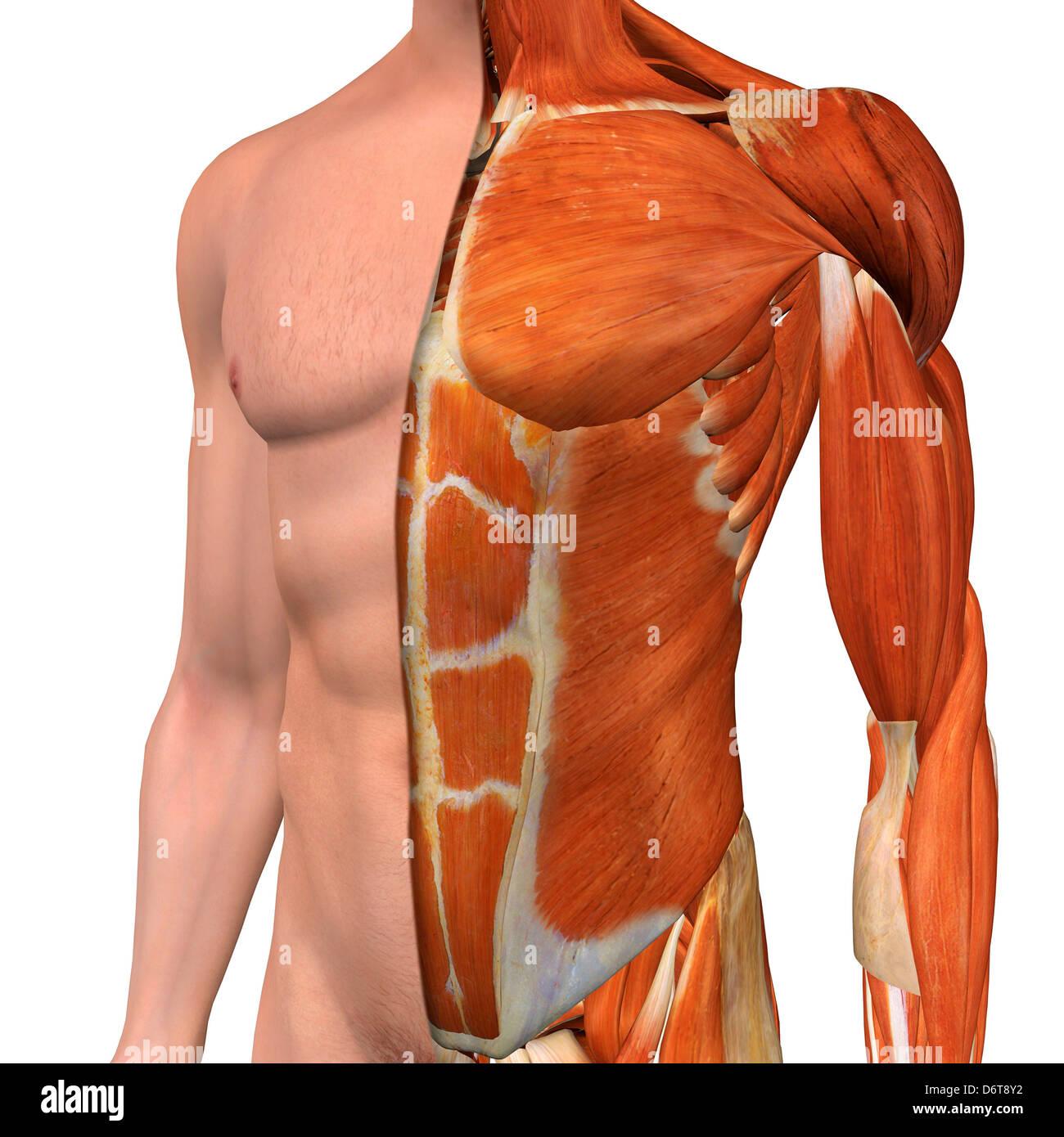 Famoso Anatomía Masculina Inferior Del Abdomen Motivo - Imágenes de ...