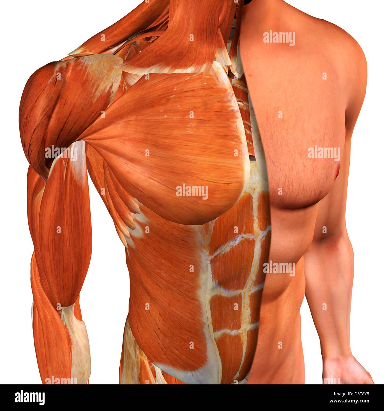 Increíble Diagrama De Músculos De La Ingle Ideas - Anatomía de Las ...