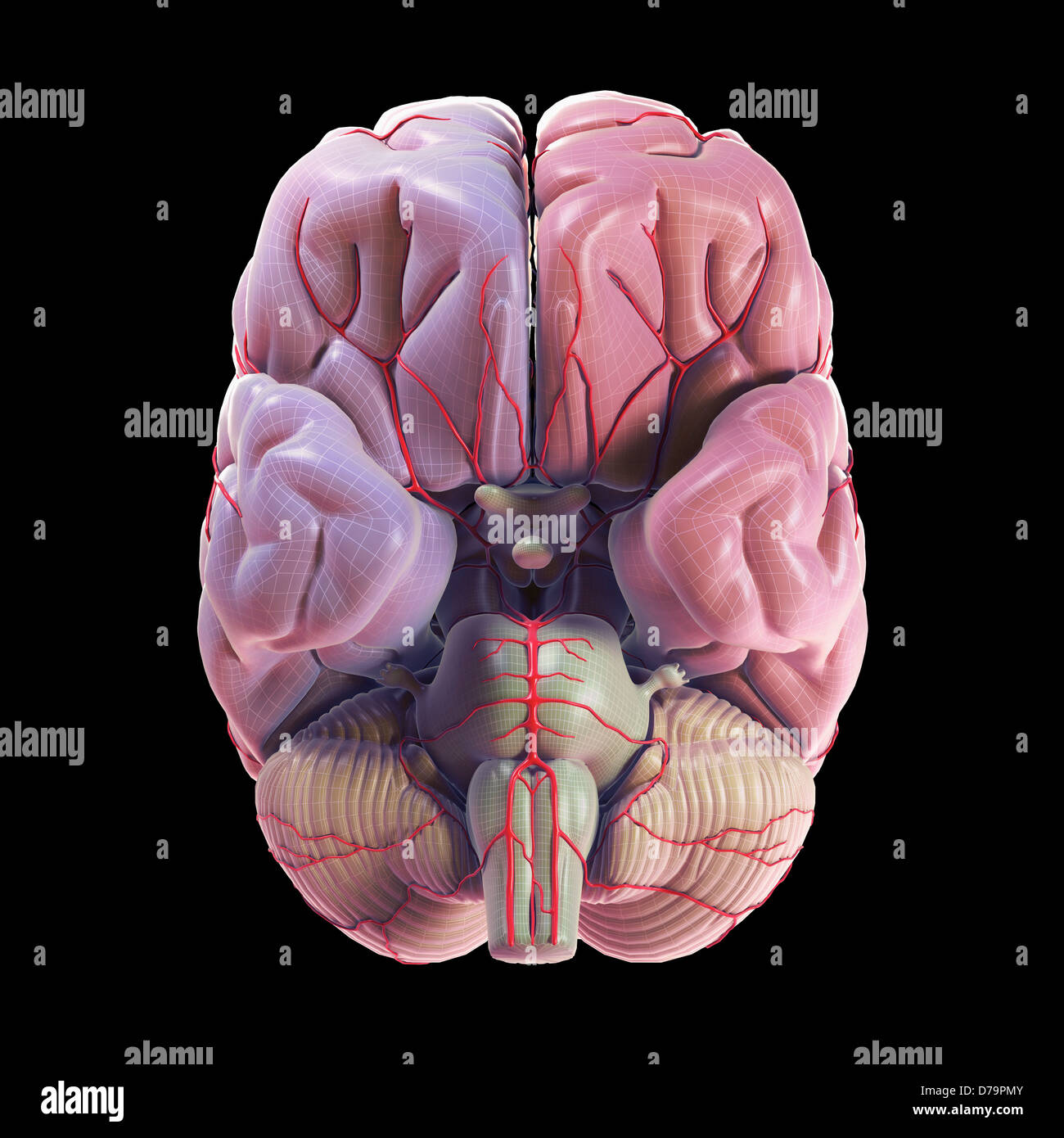 Suministro sanguíneo del cerebro Foto & Imagen De Stock: 56149099 ...