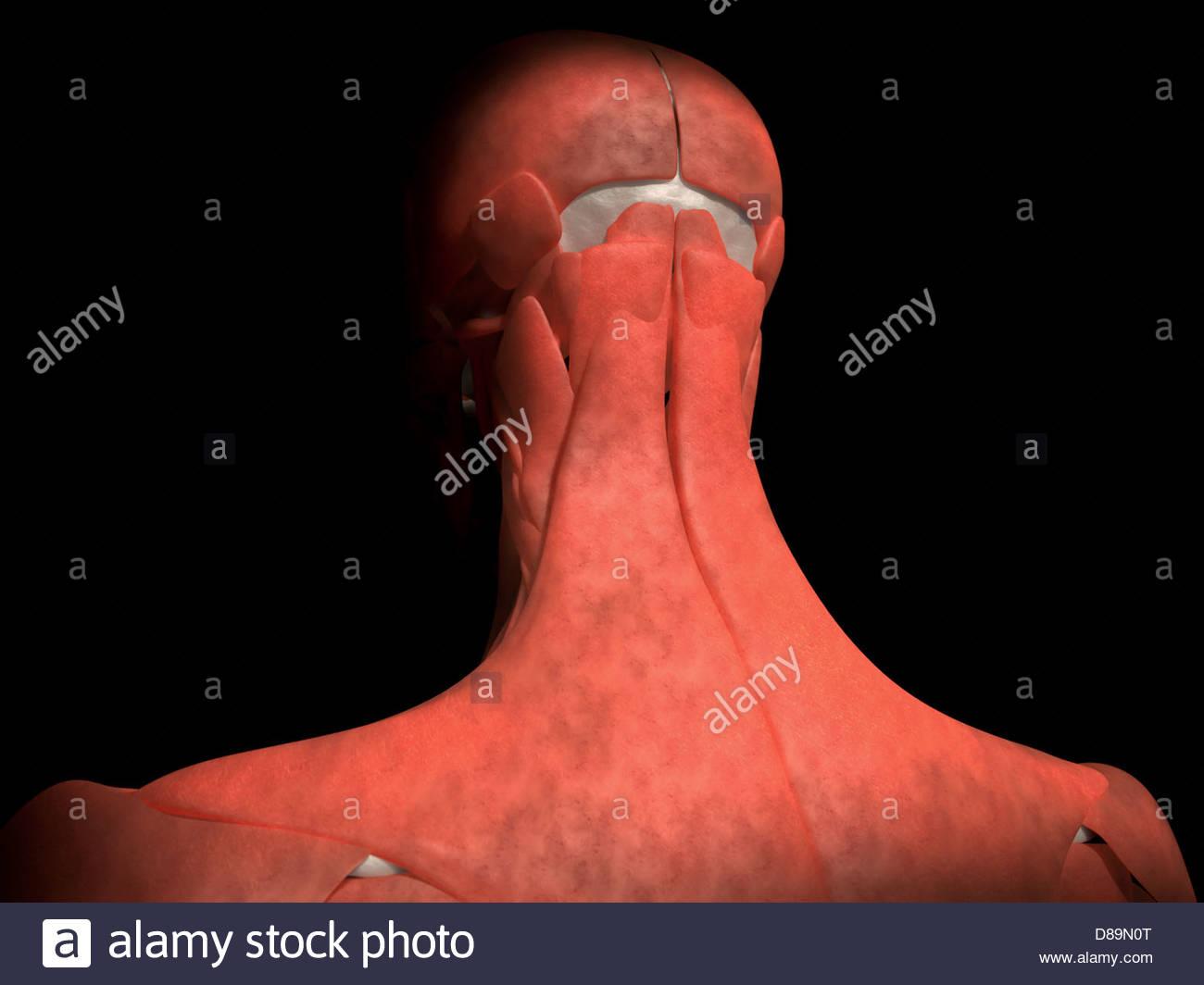 Ilustración médica digital: Vista Posterior (Trasera) de cráneo ...