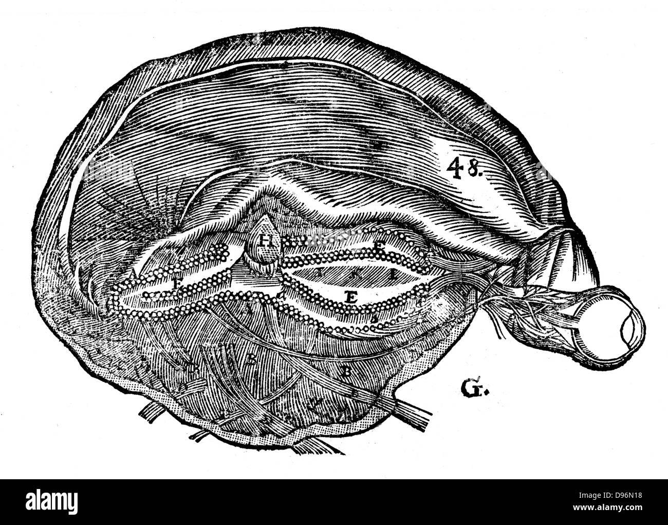 Descartes\' diagrama del cerebro humano y el ojo. A partir de René ...