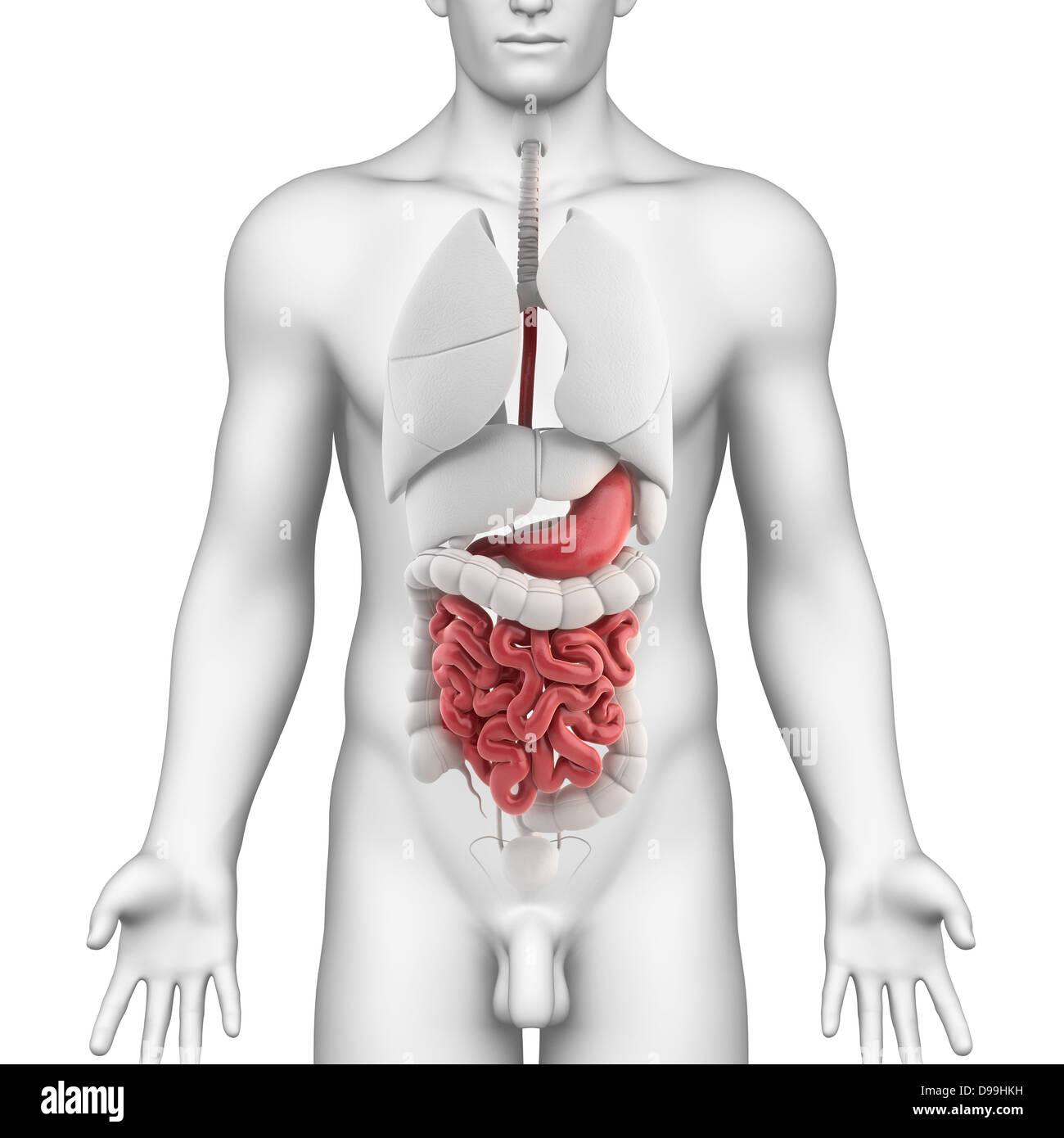 Anatomía del estómago de macho con todos los órganos internos Foto ...