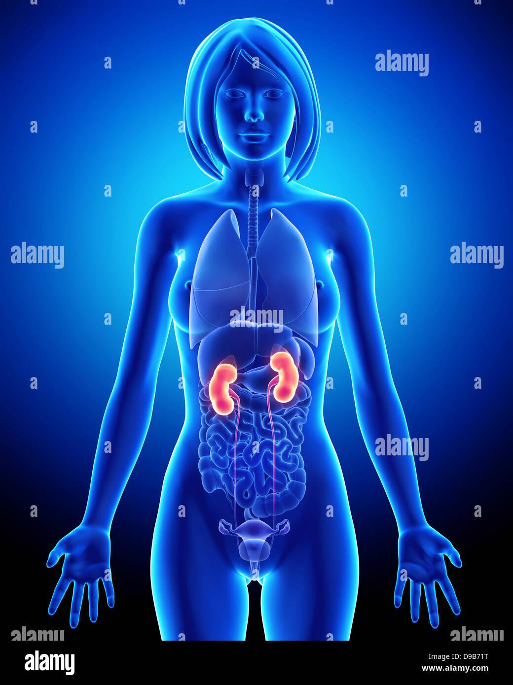 Anatomía del riñón en mujeres Foto & Imagen De Stock: 57410020 - Alamy