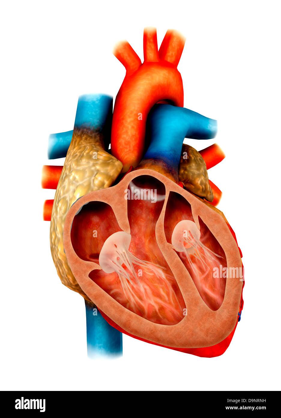 Anatomía del corazón humano, la sección transversal Foto & Imagen De ...