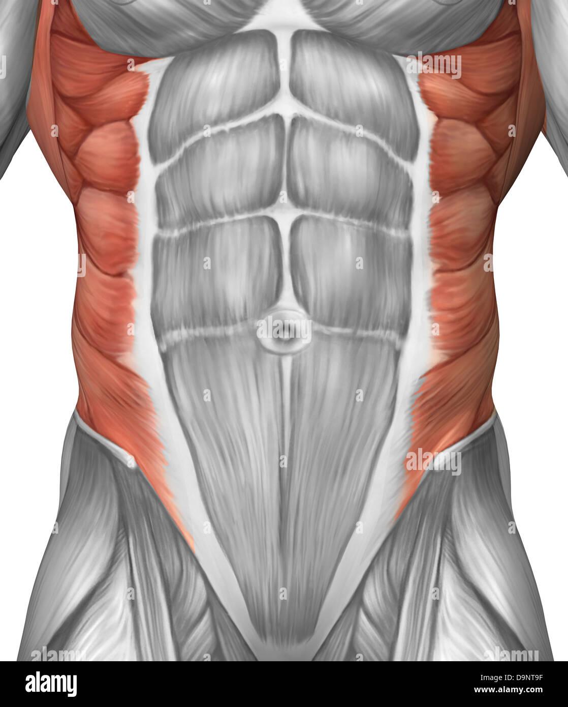 Masculina anatomía del músculo de la pared abdominal Foto & Imagen ...