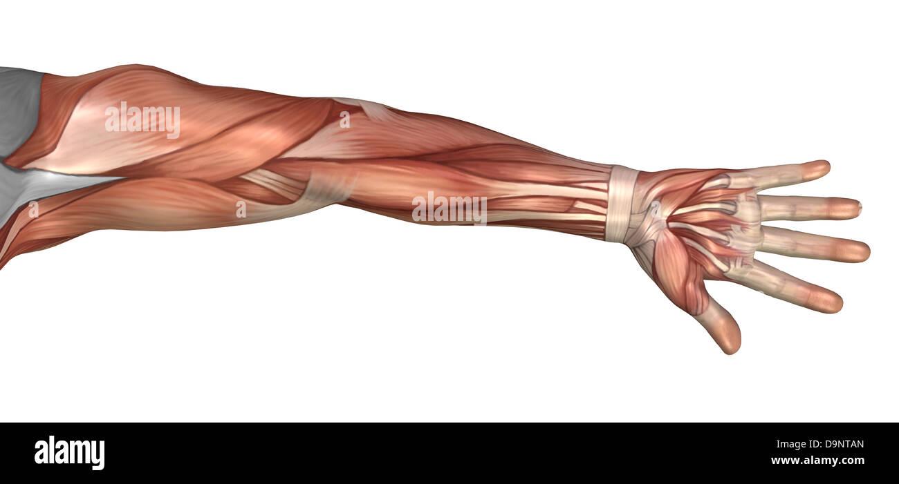 Anatomía muscular del brazo humano, vista anterior Foto & Imagen De ...