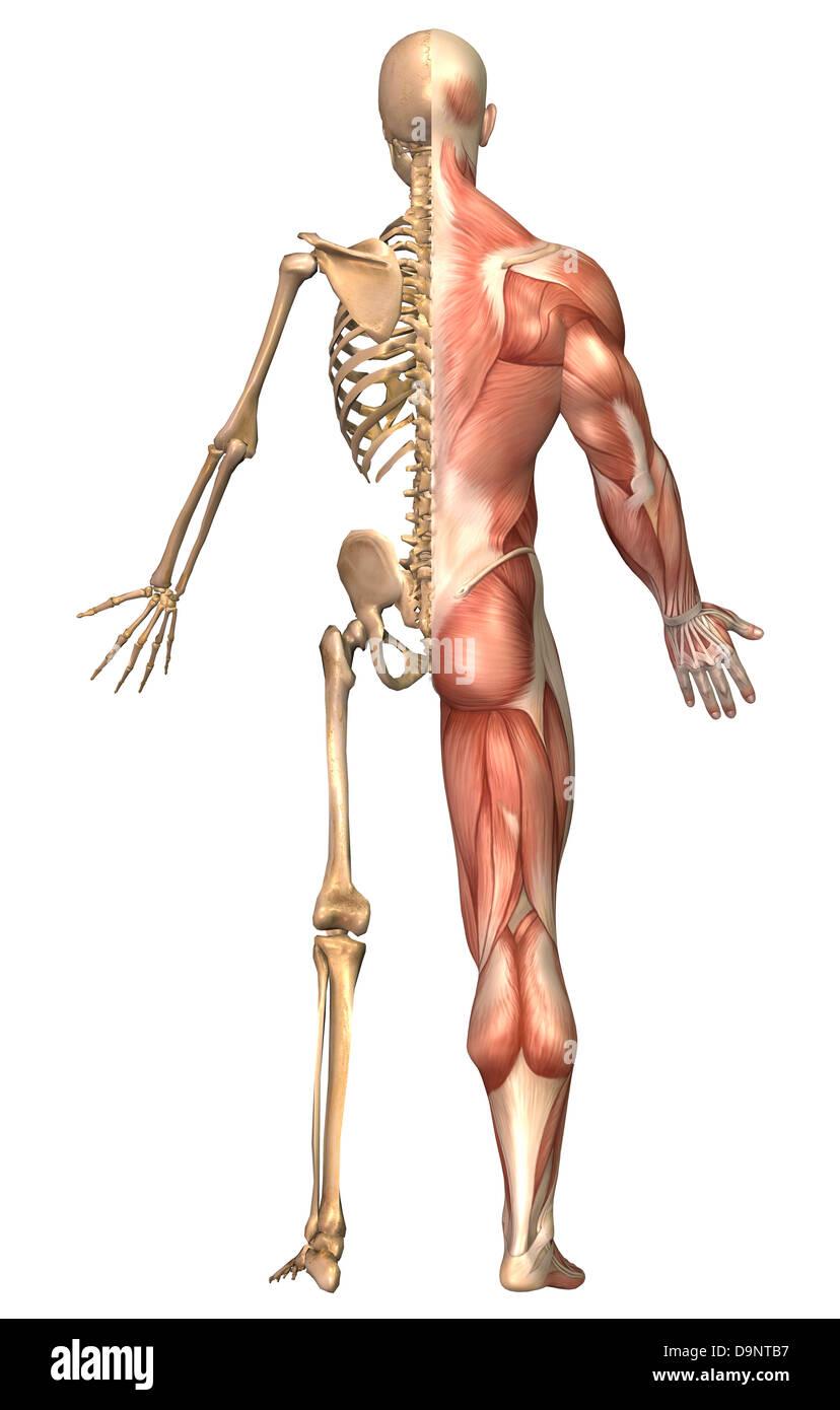 Ilustración médica del esqueleto humano y el sistema muscular, vista ...