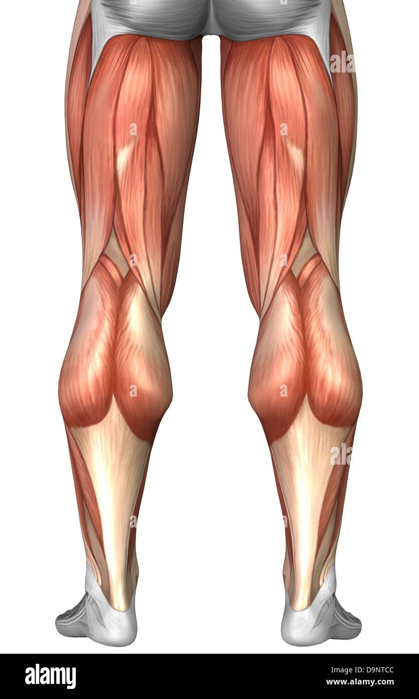 Diagrama ilustrativo de grupos de músculos en la parte posterior de ...
