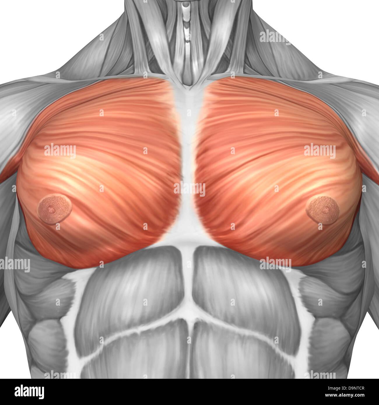 Anatomía de los músculos pectorales masculinos Foto & Imagen De ...