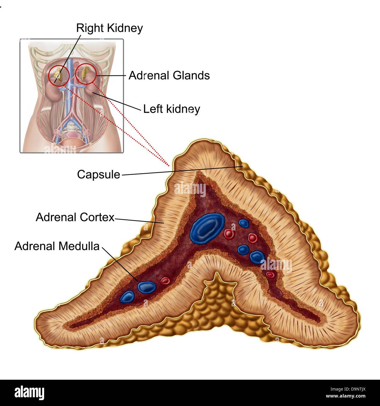 Anatomía de la glándula suprarrenal, de sección transversal Foto ...