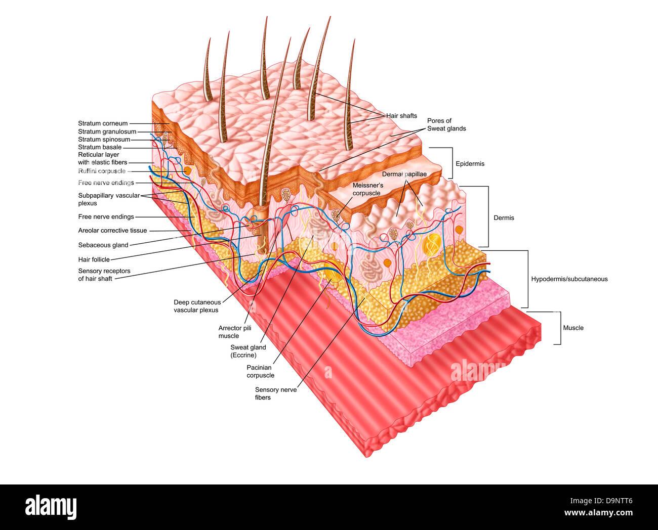 Anatomía de la piel humana Foto & Imagen De Stock: 57643494 - Alamy