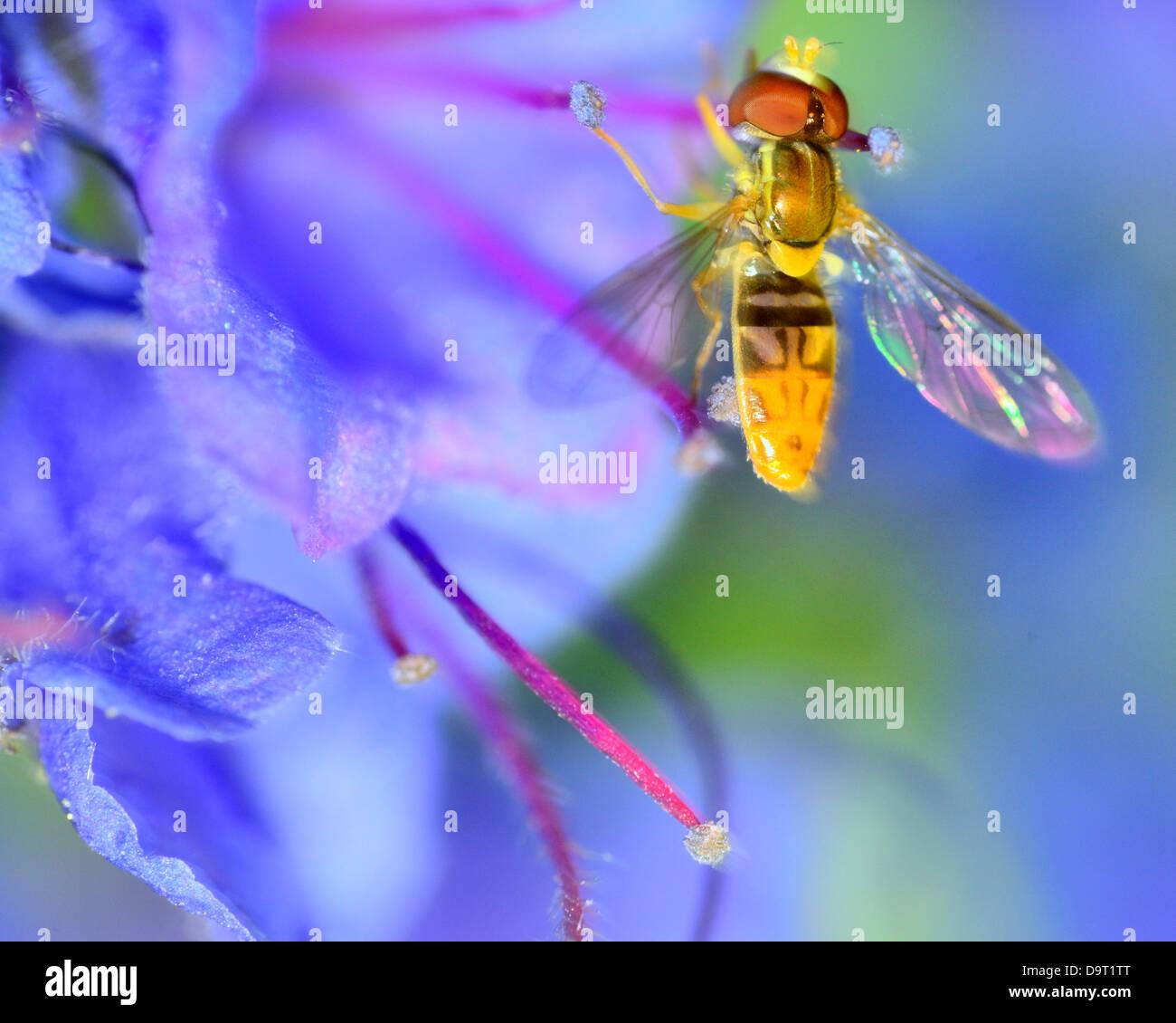 Hoverfly posado sobre una flor recogiendo polen. Imagen De Stock