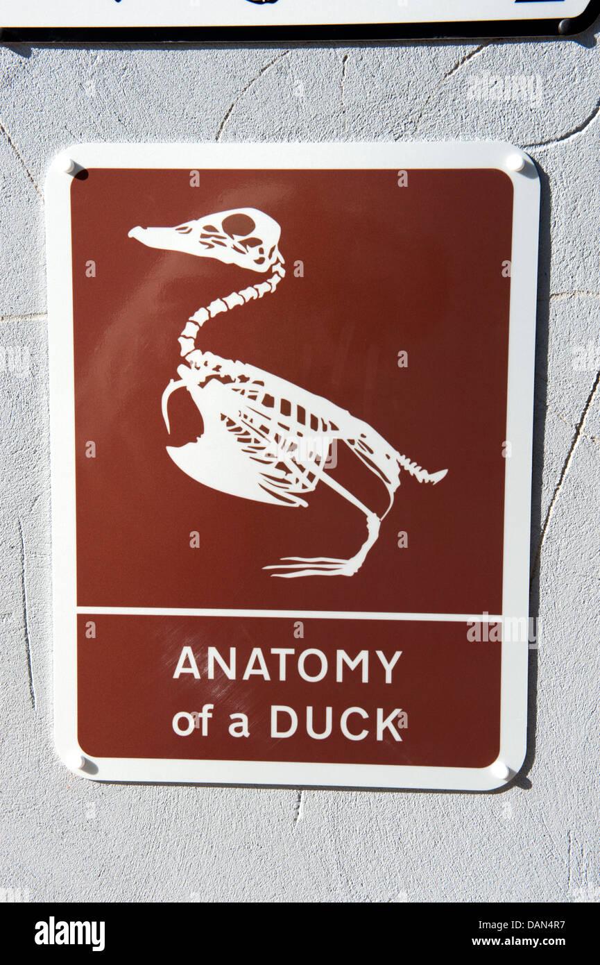 Signo marrones Anatomía de un pato gracioso Foto & Imagen De Stock ...