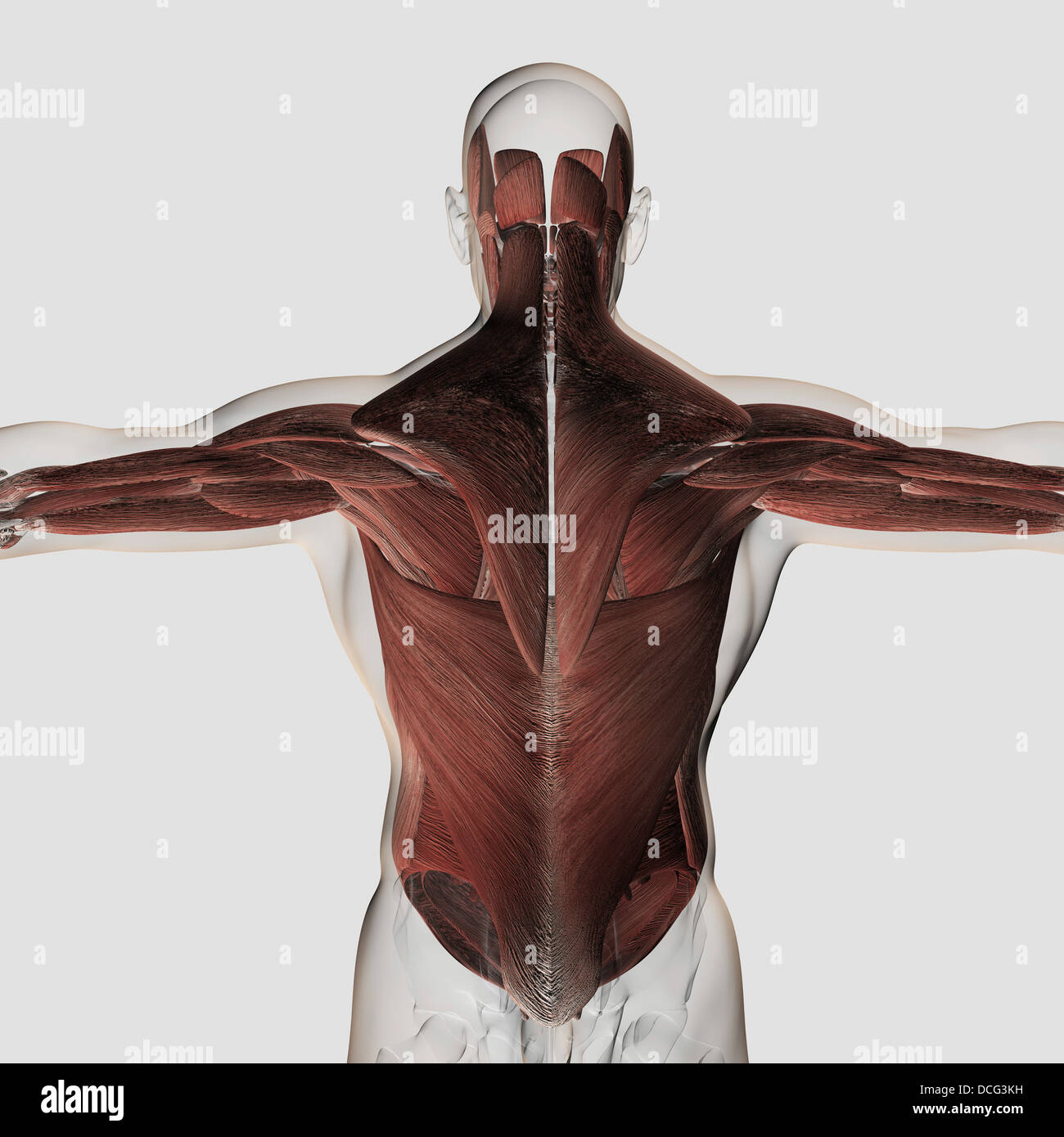 Músculo masculina Anatomía de la espalda humana Foto & Imagen De ...