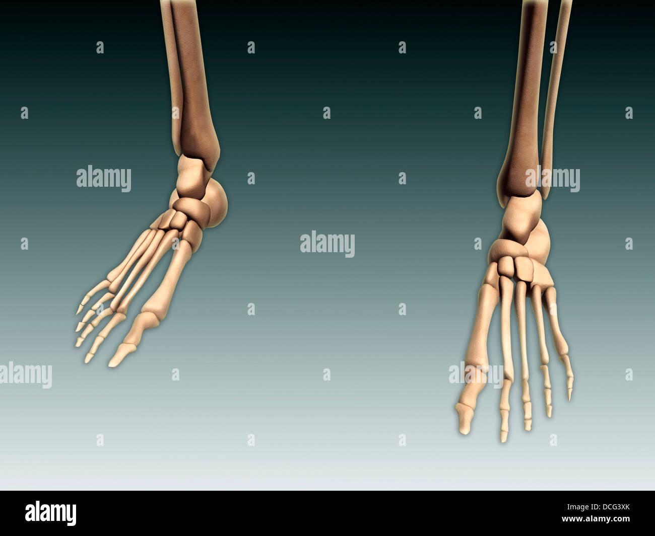 Imagen conceptual de los huesos de las piernas de los seres humanos ...