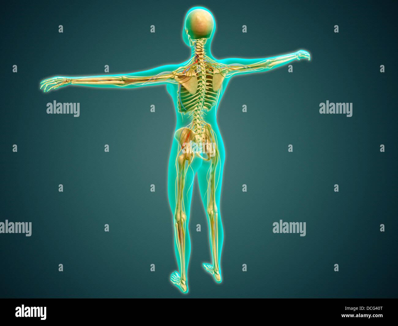 Ilustración médica del cuerpo humano mostrando el esqueleto ...
