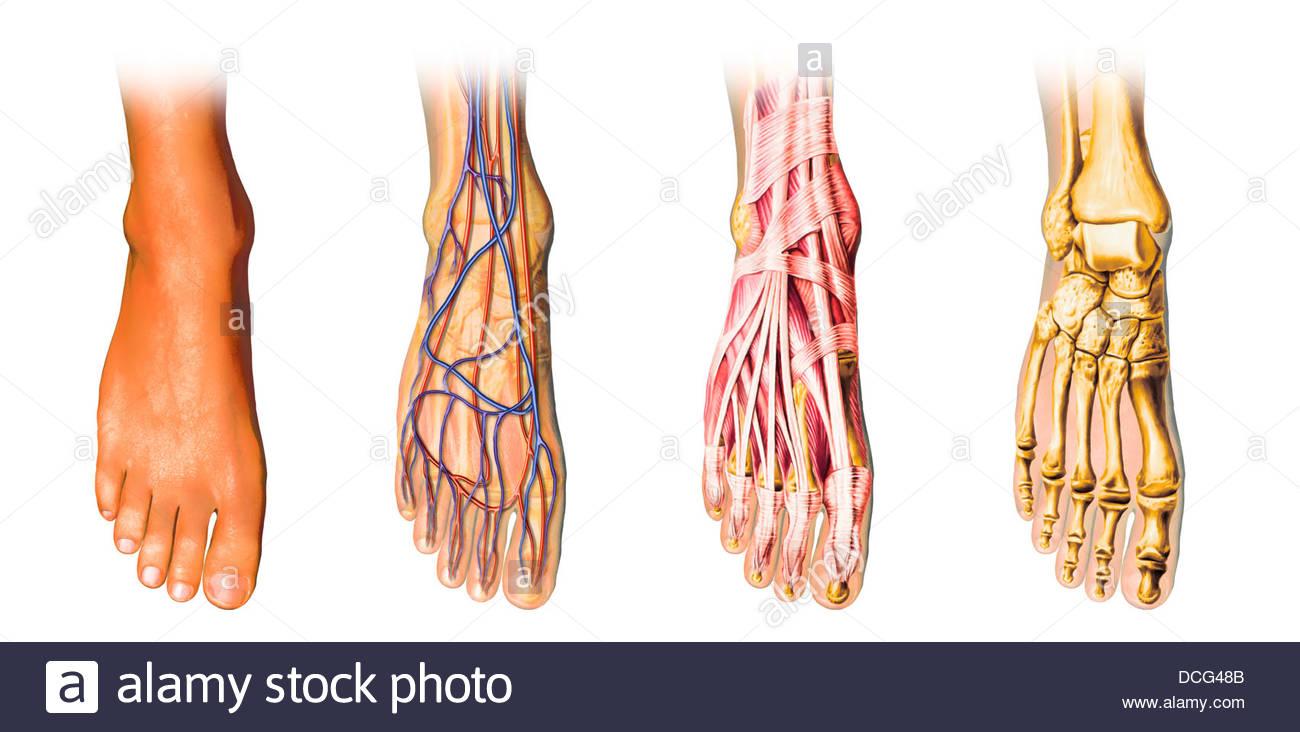 Anatomía del pie humano mostrando la piel, venas, arterias, músculos ...