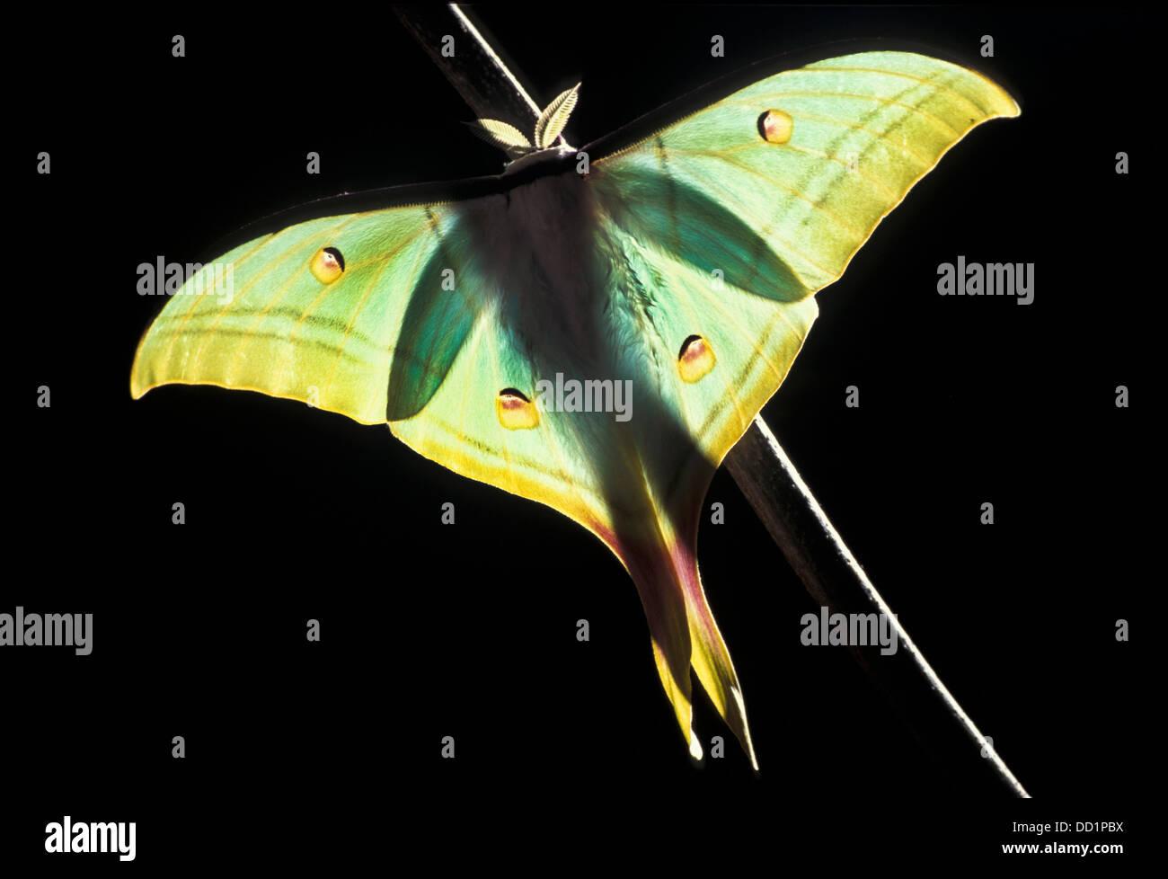 India Actias luna Moth, selene, Asia Imagen De Stock