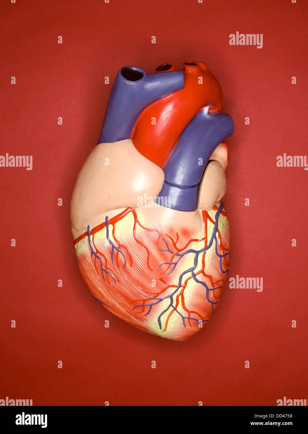 Un modelo de plástico del corazón humano sobre un fondo rojo Foto ...