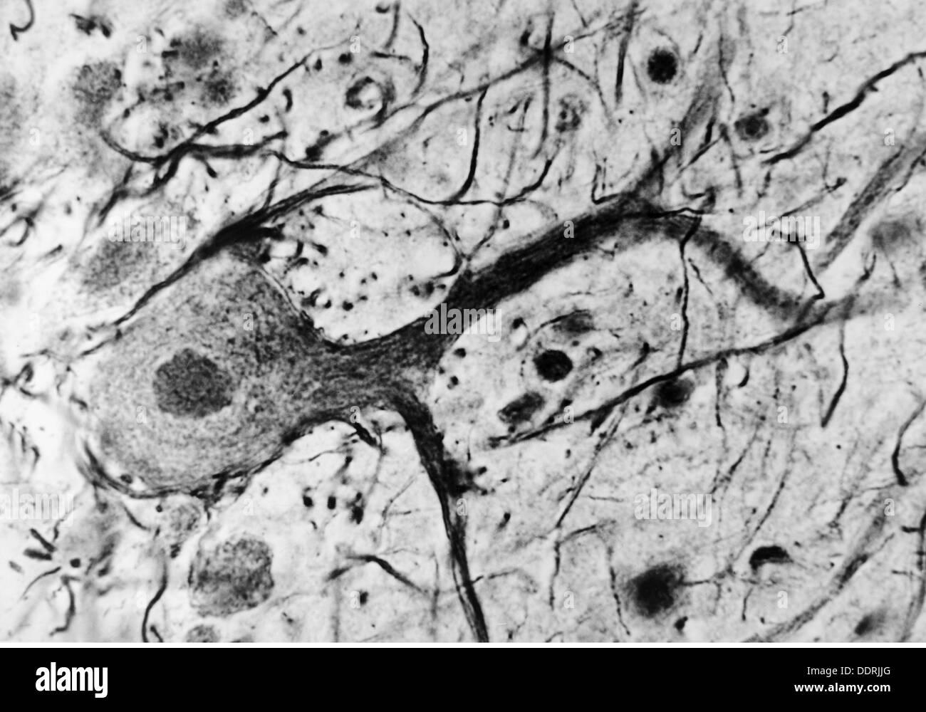 Medicina, anatomía, cerebric / cráneo, las células nerviosas del ...