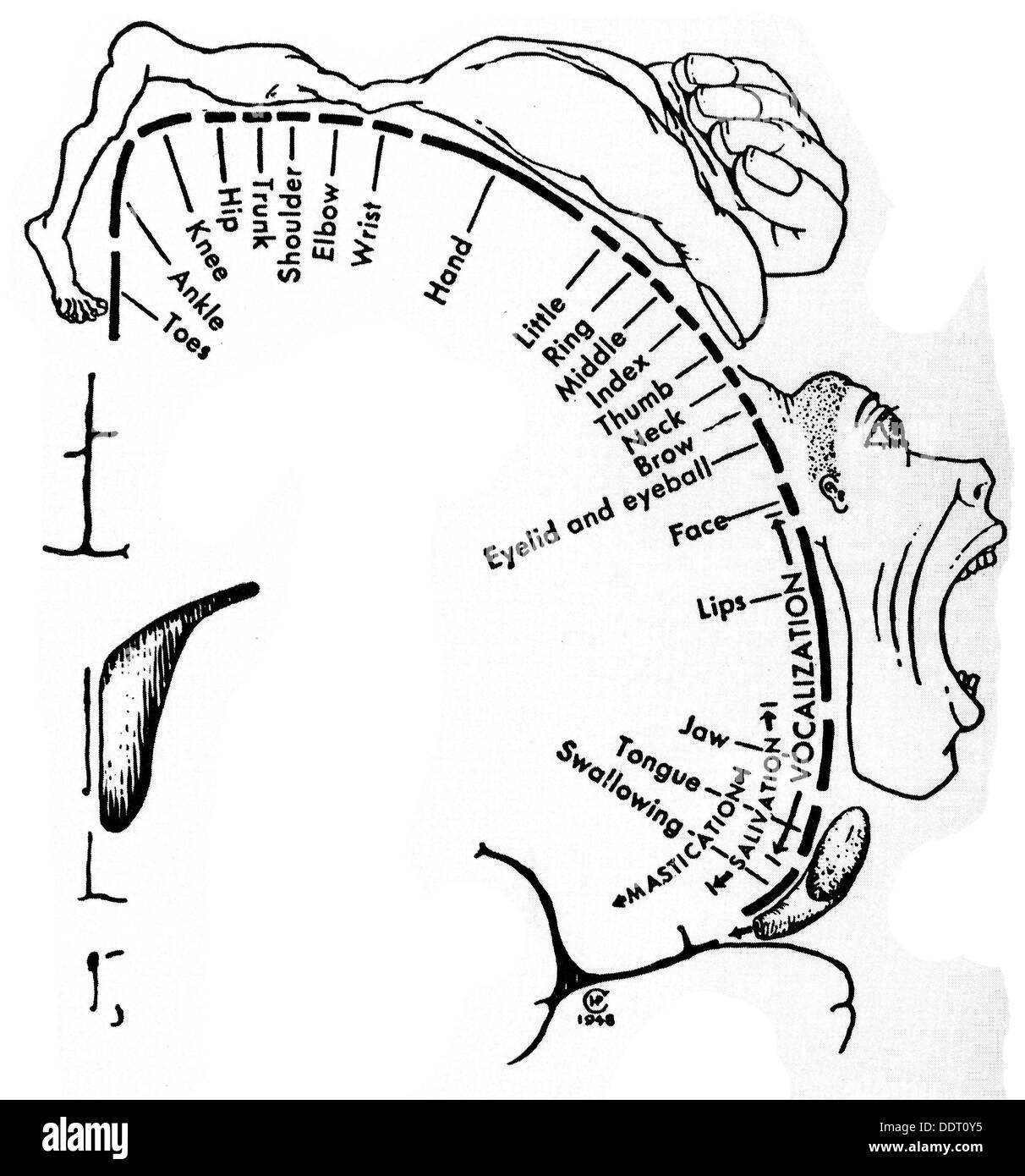 Medicina, anatomía, cerebric / cráneo, escalas de los sectores de la ...